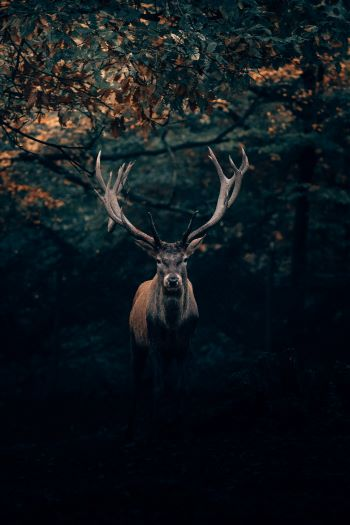 potrącenie-jelenia